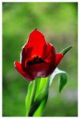 cerveny kuk