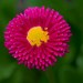 Kvet nasej zahrady asi astra