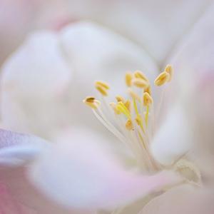 Jabĺčkový kvet