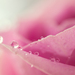 Rose&drops