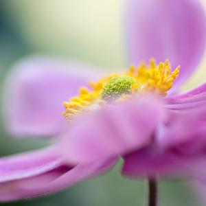 Anemone hupehensis
