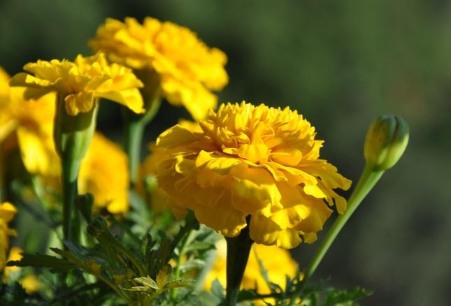 žlté krásky