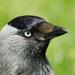 Kavka tmavá - Corvus monedula