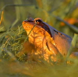 žaba.....