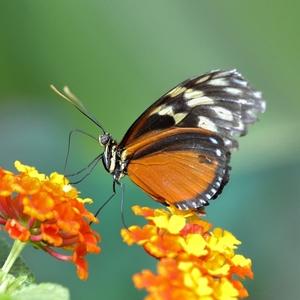motýľ......