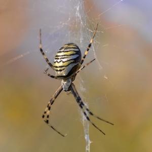 pavúk...