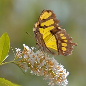 motýľ.......