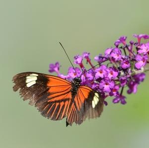 motýlia...