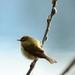 Vtáčik jarabáčik.