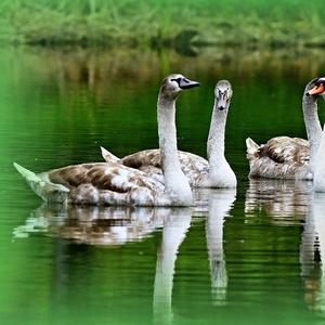 Z labutieho jazera.