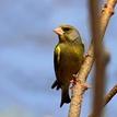 Stehlík zelený -zelienka