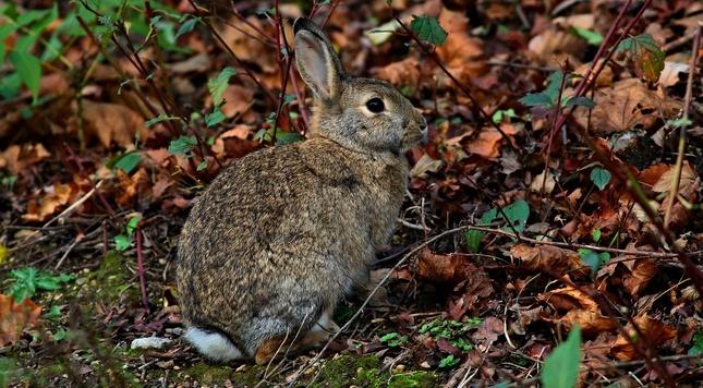 Králik-zajac malý.