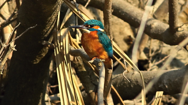 Rybárik riečny Alcedo atthis.