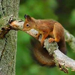 Veverička.