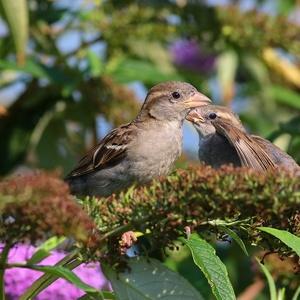 Mladí vrabci.