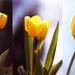 jarná tulipánová koláž