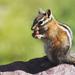 veveričiak riško