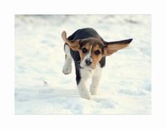 Everybody Loves A Beagle