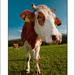 MOO-cow