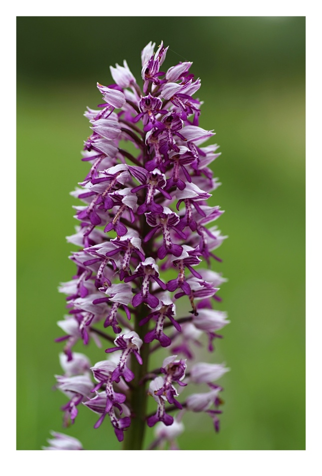orchidea po slovensky :)