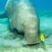 dugong a jeho verný kamoš