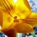žltá jar