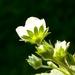 kvet jahody