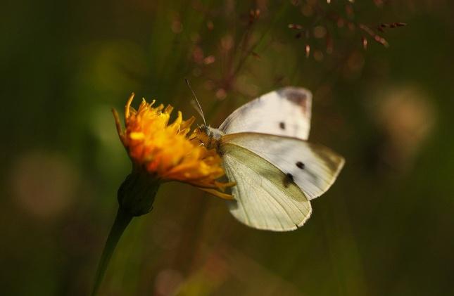 Motýlia