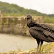 Kondor čierny