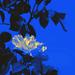 Rapsódia žltej ruže
