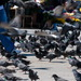 Istanbulske holuby