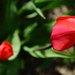 a ďaľší tulipán