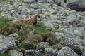 Rupicapra rupicapra tatrica