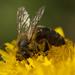 včela robotnica