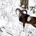 Muflón v zimnom lese..