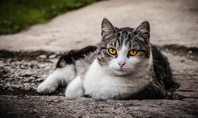 Linda, mačka záhradná