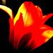 svietiaci tulipan