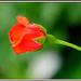 Ružička červená