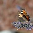 Motýlie variácie 4