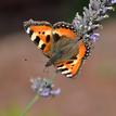 Motýlie variácie 2
