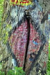 suska stromova
