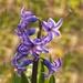 hyacintko.....