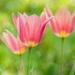 tulipanovo.