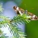 motýlčok 2