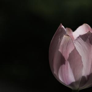 Jak prosté - tulipán
