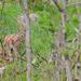 Rys Ostrovid (Felis Lynx)