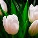 Biele tulipany