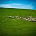Transilvánsky pastier