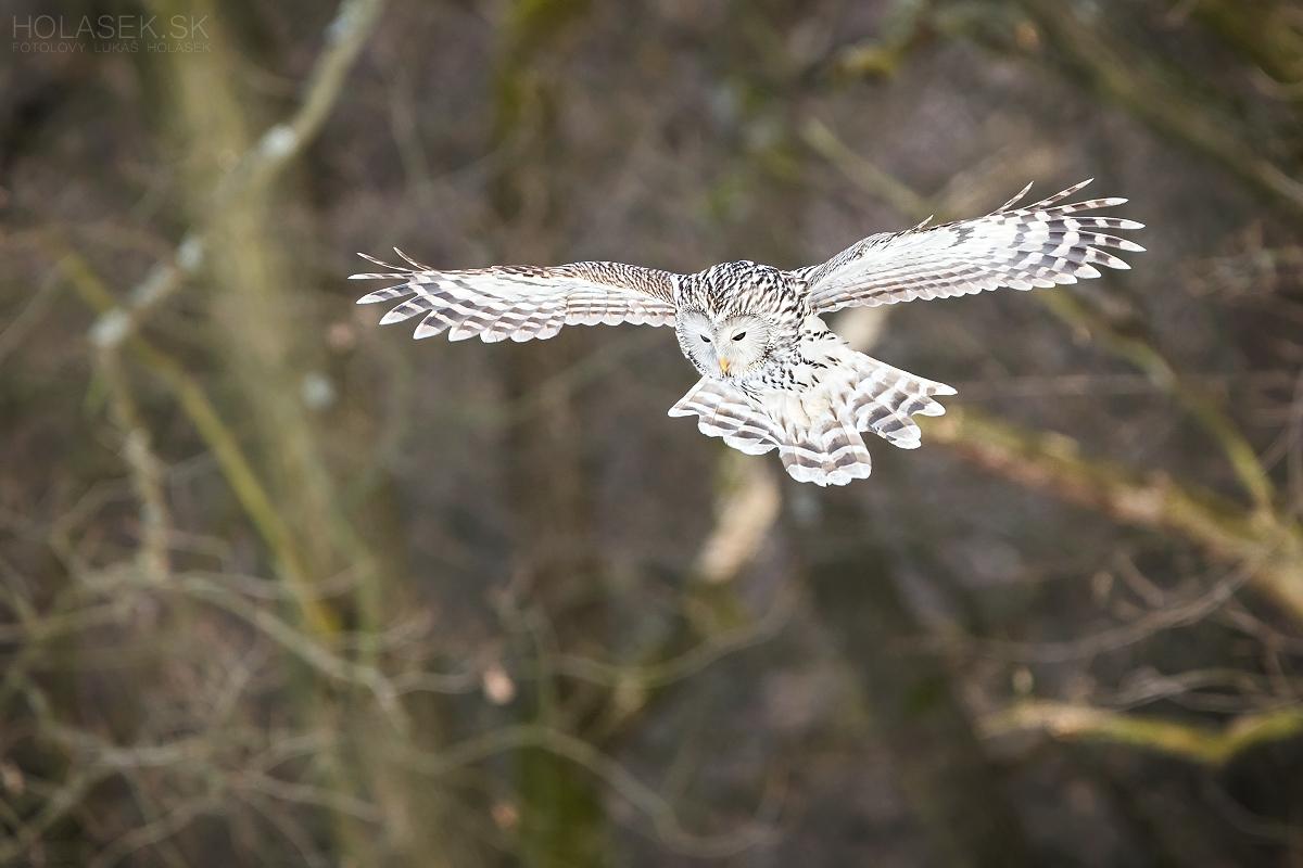 Sova dlhochvostá (Strix uralensis), divo žijúci vták zachytený pri love hlodavcov. Úniková vzdialenosť približne 30m.