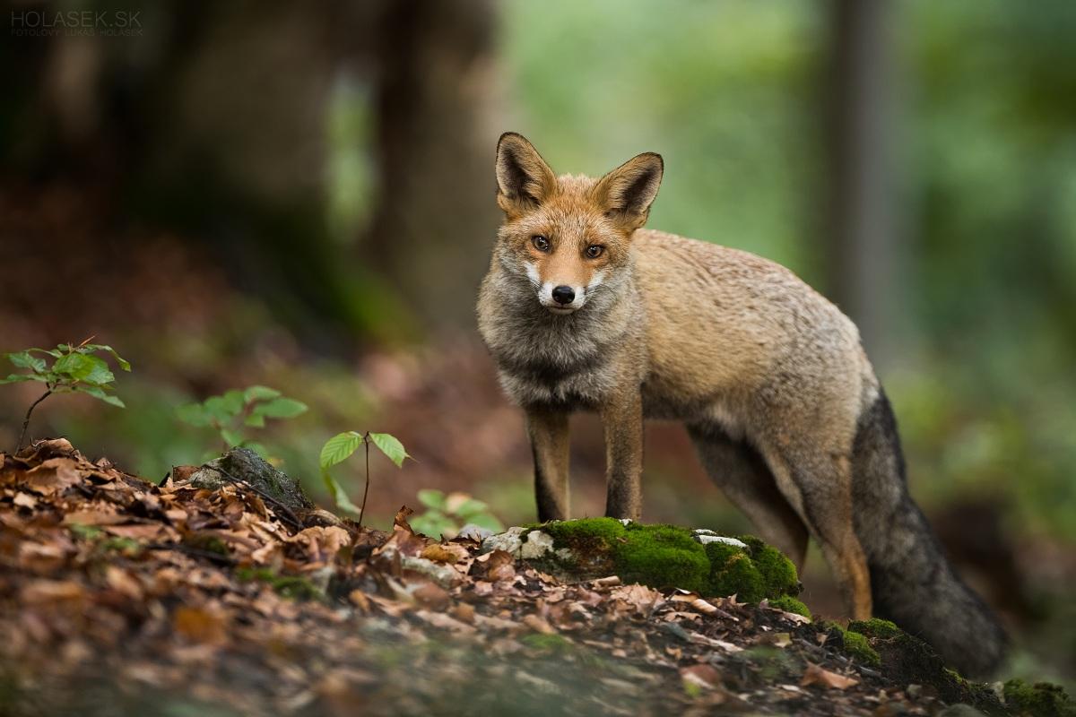 Líška hrdzavá (Vulpes vulpes), divo žijúce zviera ktoré stratilo svoju plachosť z človeka. Úniková vzdialenosť približne 1m.